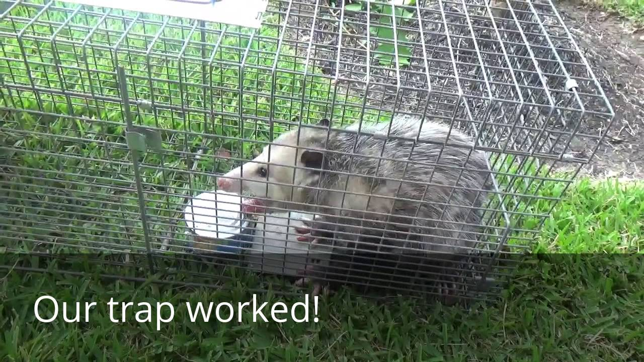 how to catch and release opossum using cage trap youtube
