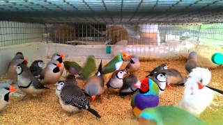 Beautiful Finches in travelling cage