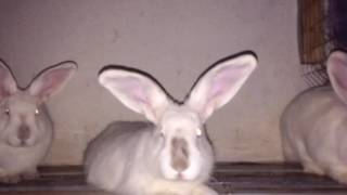 кролики калифорнийские фландр и ризен в чем разница разговор обо всем