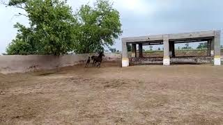 Arabic horse with it's baby in punjab Pakistan