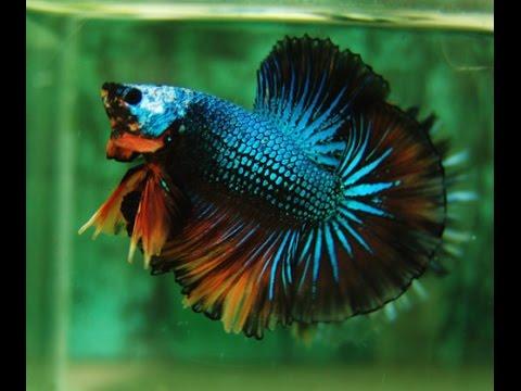 Pez betta cruza selectiva youtube for Why do betta fish fight