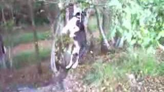 Staffordshire Bull Terrier Eats & Hangs About In Trees!!