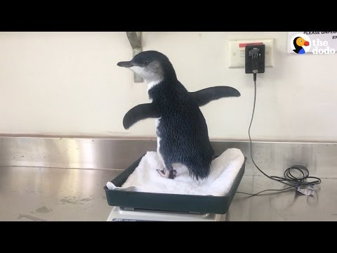 Baby Penguin Rescued From Storm Drain