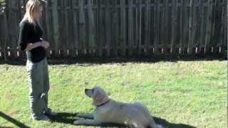 Golden Retriever -16 Months Old
