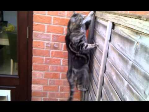 Fat stupid cat climbing