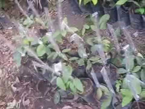 Grafting a Rambutan Tree