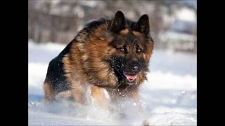 Top 20 strongest dogs