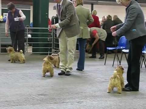 Norfolk Terrier  Dog Challenge National Terrier Show 2012.AVI