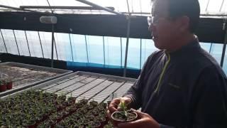 카네이션 황금알농법