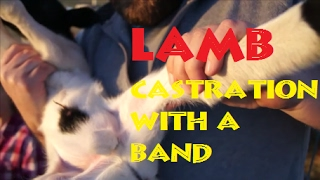 Castration By Banding