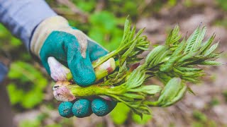 Taste of Nature | Mountain Vegetables Vol.2 Udo