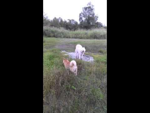 北海道犬とサモエド
