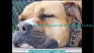 Ear Care For Pit Bulls With Ear Infection.mp4