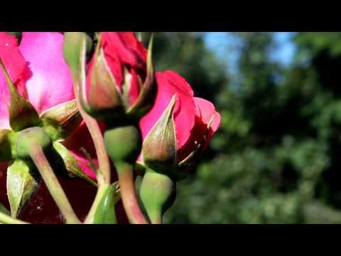 Beautiful Red Roses -  Free stock video - orangeHD.com