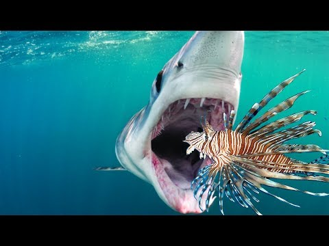 Teaching Sharks To Eat Invasive Lionfish Raw Footage