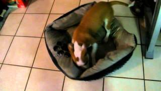 Guilty Dogs: Pickles NEW BED! Thumbnail