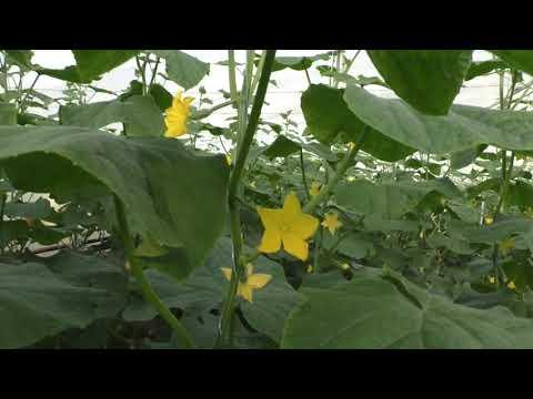 Осеннее выращивание огурцов в теплице.
