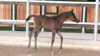 Al Munir black Colt 2009 by Magic Soul Thumbnail
