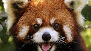 Веселые красные (малые) панды. Red Panda