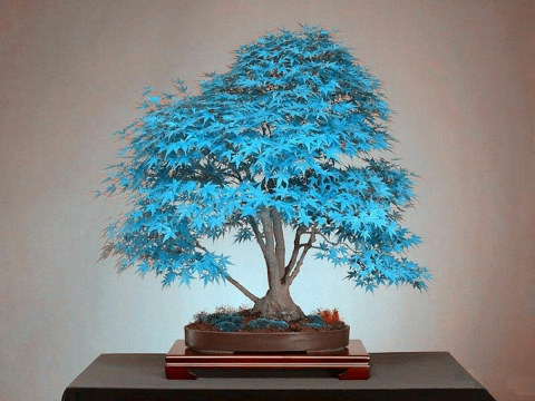Acer Maple Azul - Blue Maple #ABC DO BONSAI RESPONDE 3