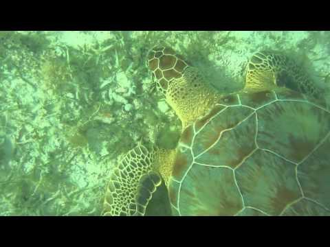 Snorkeling with Vibrant Fish, Turtles & Stingray at Maho Bay, St John  - US Virgin Islands, 10:16:15