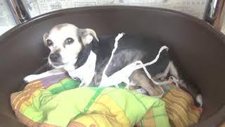 Рак молочной железы у собаки. Нюрочке все удалили