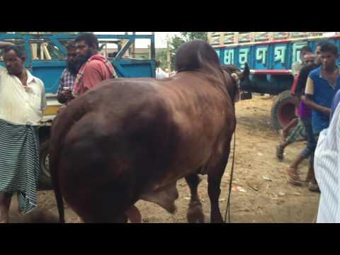 Brought price 2,70,000tk at Asulia Cow Haat in 2016,Dhaka ,Bangladesh