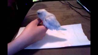 Potty Trained Parrotlet
