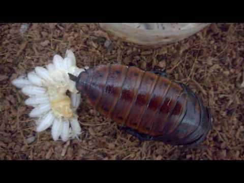 Parto da Barata de Madagascar (Gromphadorhina portentosa)