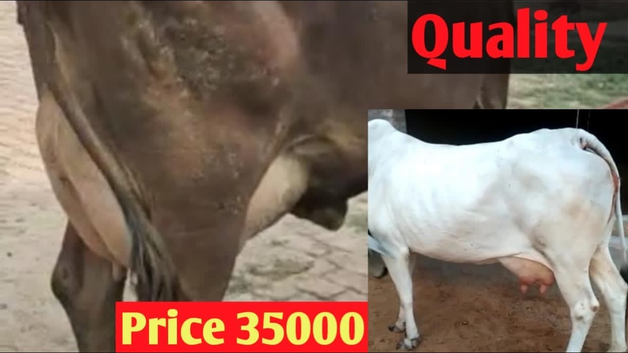 For sale cow Sahiwal First timer , Haryanvi cow with Beautiful Female Calf Price 35000 Only 😍