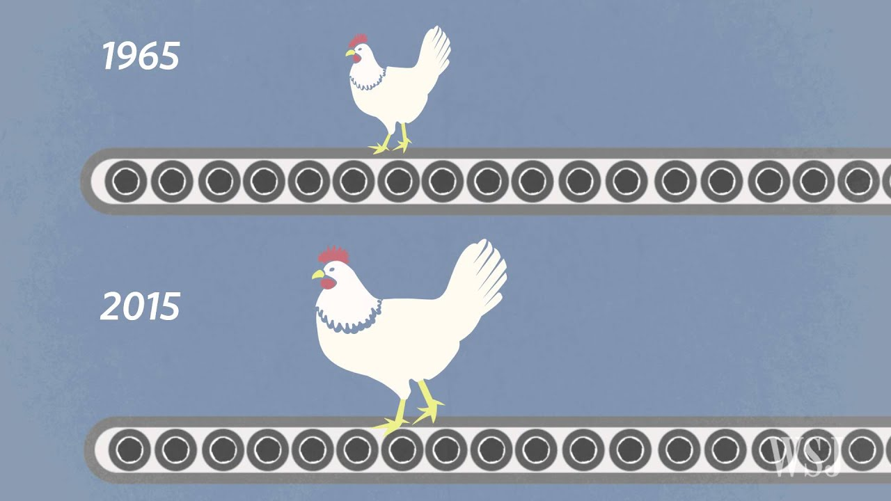 Fast-Growing Chickens Developing Muscle Conditions - YouTube