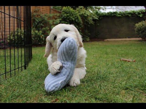 I got a puppy! Atom, the 8 week old golden retriever!
