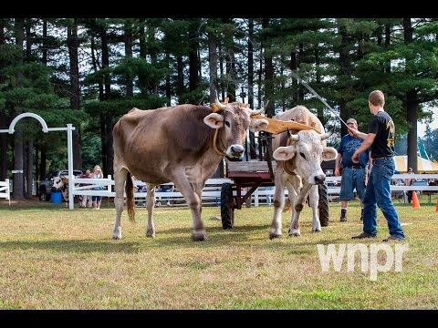 Oxen Teams Compete at the Four Town Fair in Somers, Connecticut