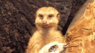 This Meerkat Trying Hard Not To Fall Asleep   HILARIOUS!!
