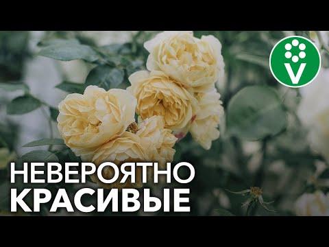 ТОП-7 сортов плетистых роз, которые преобразят любой сад!