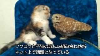 (字幕・3日) 大阪市のカフェで暮らすフクロウと子猫の愛くるしい姿が...