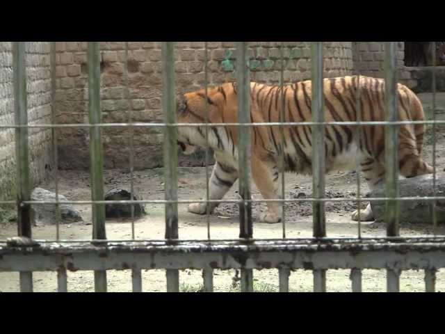 Tigre Siberiano (A fêmea) #EspetáculoDaNatureza TRAVEL_VIDEO