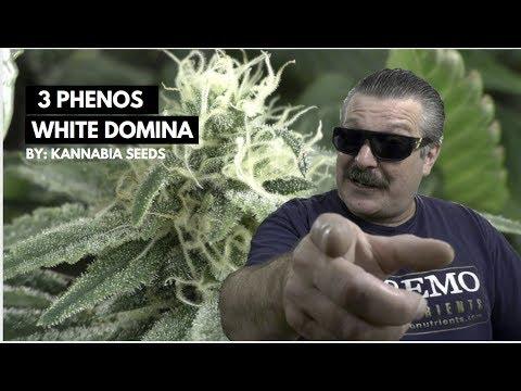 3 PHENOS OF WHITE DOMINA CBD Week  4 FLOWER!
