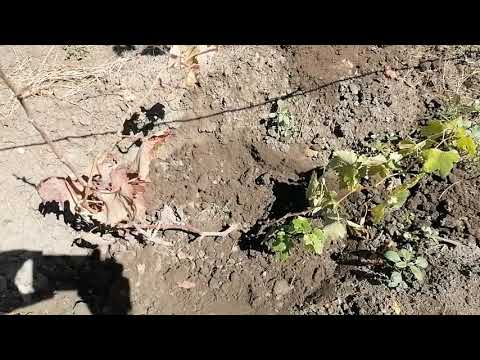 Причина усыхания побега винограда. Плохой рост лозы. Бактериальный рак винограда или что-то другое?