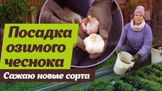 Как посадить озимый чеснок.  Советы специалиста