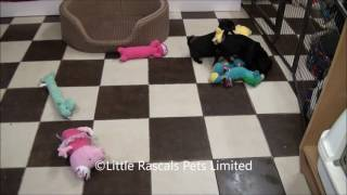 Little Rascals Uk Breeders New Litter Of Frug Puppies