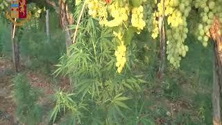 Coltivava marijuana all'interno della sua azienda agricola: arrestato 48enne andriese
