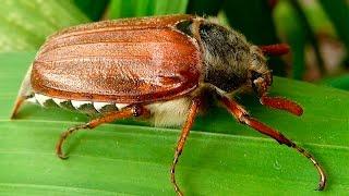 Майский жук (Хрущ майский)