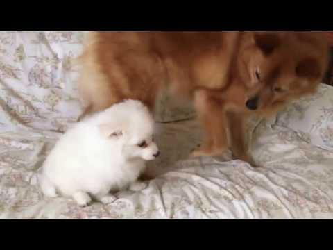 American Eskimo puppy challenged an older Finnish Spitz (14)