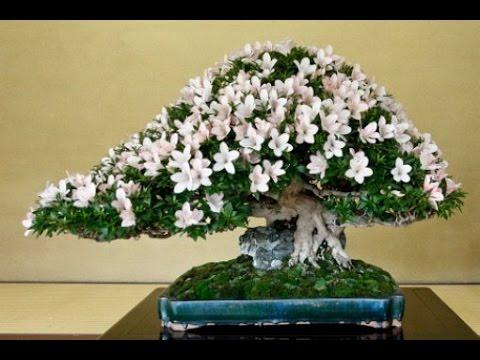 What Is Azalea Bonsai Care Guide Youtube