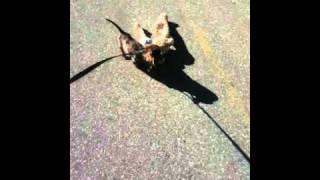 Mini Dachshund Takes Toy For Walk