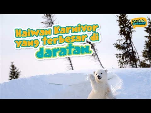 Tahukah Si Manja Eps 8 - Beruang Kutub