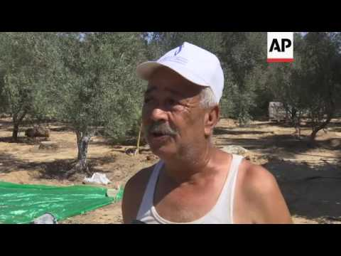 Olive production exceeding targets in Gaza Strip