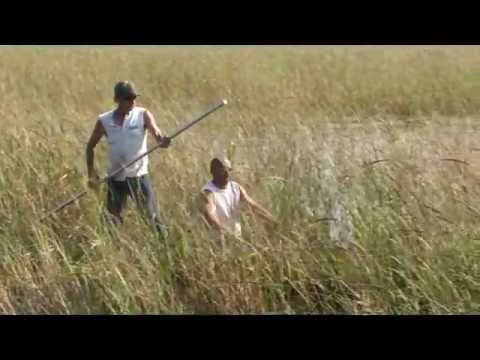 Minnestalgia Wild Rice Harvesting