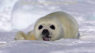 Video New born baby seal rolling on the ice download MP3, 3GP, MP4, WEBM, AVI, FLV Juli 2018